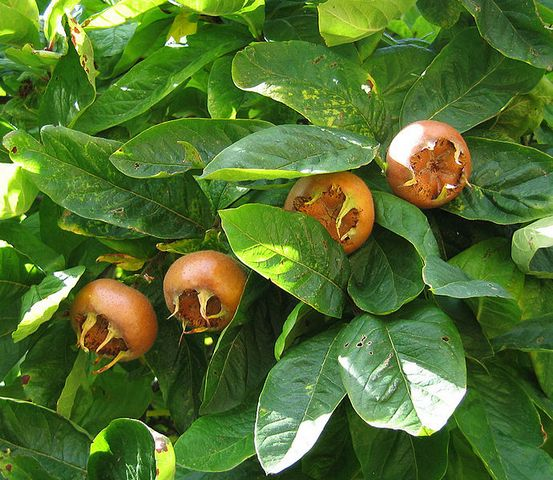 690px-Medlar pomes and leaves