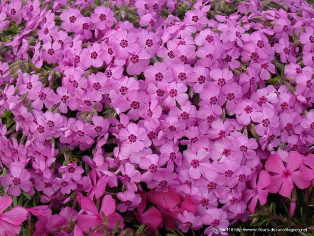 Phlox subulata Holly 4